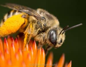 Why they call them killer bees